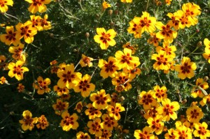 http://www.freesamples.co.uk/wp-content/uploads/2012/04/Free-Packet-of-Marigold-Seeds-300x199.jpg
