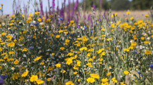 Free Flower Seeds
