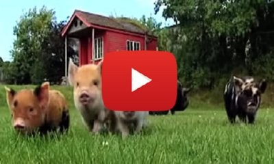 Meet These Micro Pigs