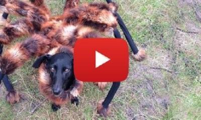 Spider Dog Scares America