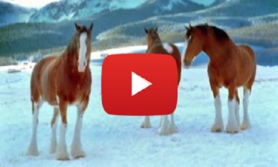 The Budweiser Clydesdale Horses Snowball Fight