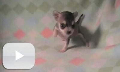 Willow The 8oz Chi Is Learning To Walk