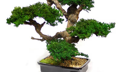 Free Bonsai Trees